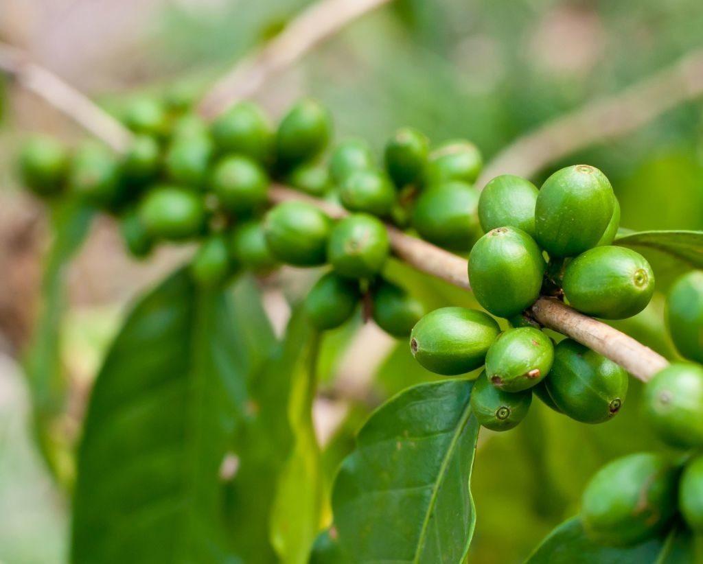cafe verde opiniones