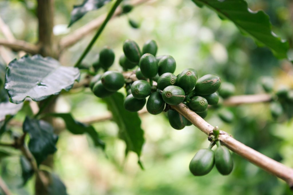 cafe verde lidl en grano